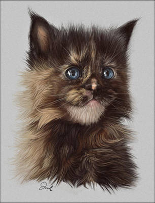 Maine Coon Kitten by chipset