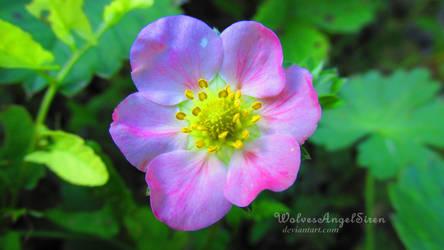 violet kiss pink by WolvesAngelSiren