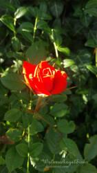 Rose by WolvesAngelSiren