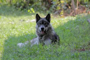 Kiya the wolf-dog by AurelTristen
