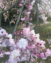 Sakura blossom by yo-sociopath