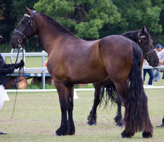 STOCK - Friesian Show 2012-97 by fillyrox
