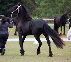 STOCK - Friesian Show 2012-77 by fillyrox