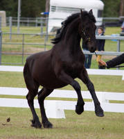 STOCK - Friesian Show 2012-49 by fillyrox