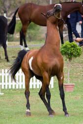 STOCK - TotR Arabians 2013-166 by fillyrox