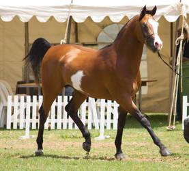 STOCK - TotR Arabians 2013-163 by fillyrox