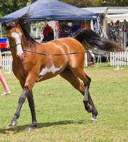 STOCK - TotR Arabians 2013-151 by fillyrox