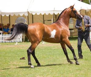 STOCK - TotR Arabians 2013-143 by fillyrox
