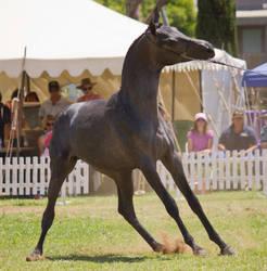 STOCK - TotR Arabians 2013-500 by fillyrox