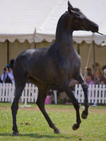 STOCK - TotR Arabians 2013-525 by fillyrox