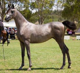 STOCK - TotR Arabians 2013-513 by fillyrox