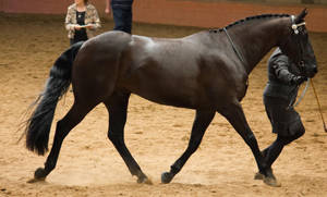 STOCK - 2014 Andalusian Nationals-205 by fillyrox