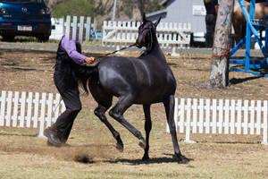 STOCK - 2014 TotR Arabians-79 by fillyrox