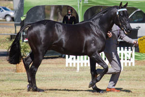 STOCK - 2014 TotR Arabians-55 by fillyrox