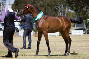 STOCK - 2014 TotR Arabians-111 by fillyrox