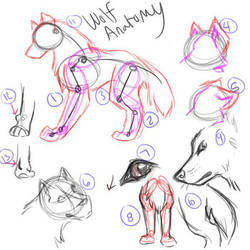 Basic Wolf Anatomy by FlannMoriath