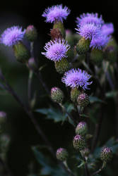 Evening Thistles by organicvision