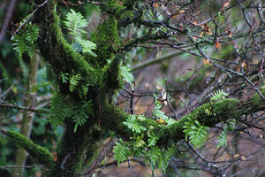 Fern on an Oak by organicvision