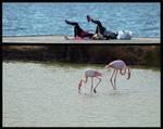 Flamingos by organicvision