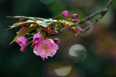 Cherry Bokeh by organicvision