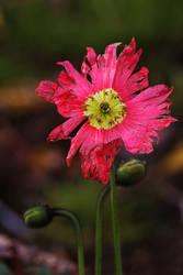 December Poppy by organicvision