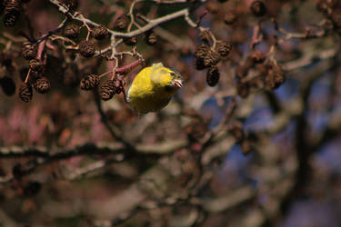 Yellowhammer by organicvision