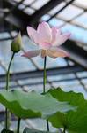 Lotus(31) by Zaratra