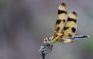 Dragonfly by NeuroticMatt