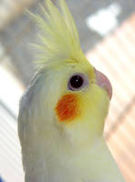 Calopsita Bird Close Up by alienspawn