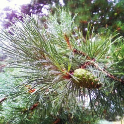 Pinecone and drops by AnastasiyaKosenko