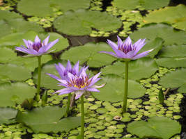 Nymphaea colorata by khetra