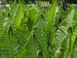 ferns by khetra