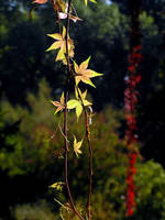 Parthenocissus by khetra