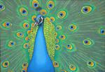 Peacock by ckoffler