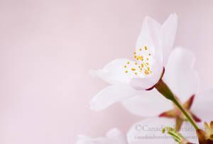 Sakura by Canadianhorseluver