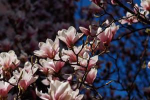 Magnolia by EyeOfTheKat