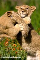 Cubs at play by GKmon-DORU-fanatic