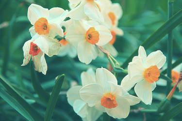 Daffodils by Sugar-Sugar-Bee
