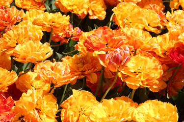 Orange tulips by Sugar-Sugar-Bee
