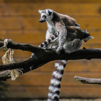 Lemur001 by ov3