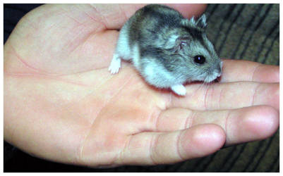 Hamster by minipliman