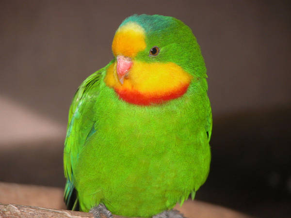Superb Parrot by Bueshang