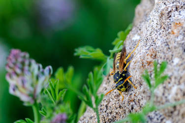 Wasp by ouhti