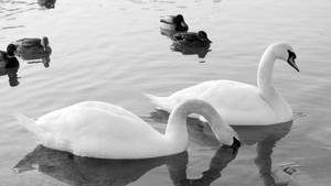 Swans by MauraGreen