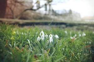 SnowDrops 2 by Zoroo