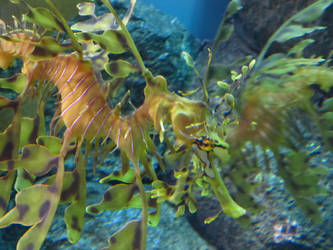 Seahorse by 3sarahtop