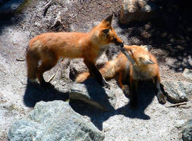 Foxes by zEeBs