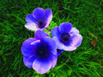 Blue Anemone by aperire-animus