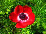Red Anemone by aperire-animus