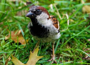 Sparrow, Central Park, New York City by Syrupskater